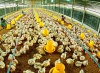 Tìm hiểu ngành Chăn nuôi là gì? học gì? ra trường làm gì?